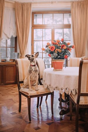adorable mixed breed dog sitting on a chair by a table with flowers Stock Photo