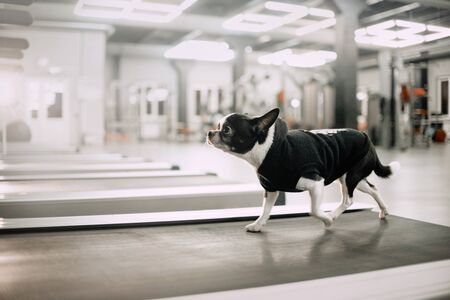 chihuahua dog running on a treadmill in the gym Stock Photo