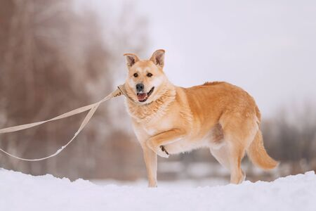 happy mixed breed dog standing in the snow with paw up Stock Photo