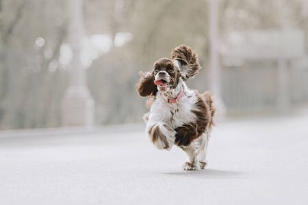 happy american cocker spaniel dog running on the street Stock Photo