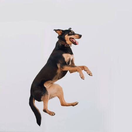 happy mixed breed dog jumping up outdoors
