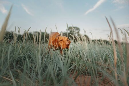 vizsla dog pointing in the grass on the beach Stock fotó
