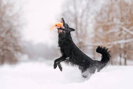 happy border collie dog jumping up to catch a flying disc in winter