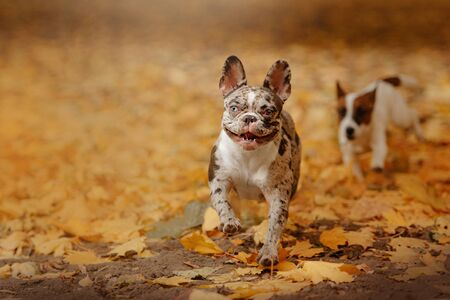 happy french bulldog running outdoors in autumn