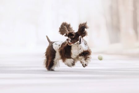 funny american cocker spaniel dog playing with a tennis ball