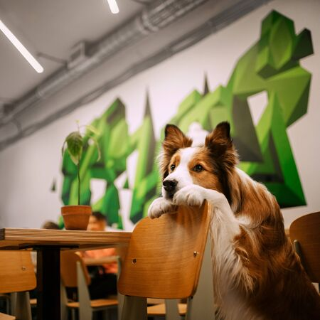 red and white border collie dog posing indoors Stock Photo