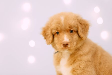 toller retriever puppy portrait indoors with led lights