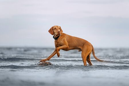 hungarian vizsla dog posing in the water on a rock