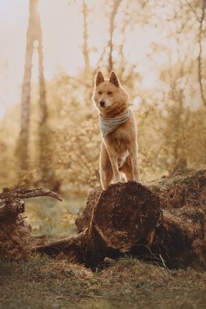 red mixed breed dog posing in the forest in sunlight