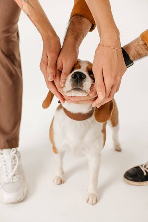 owners caressing a beagle dog on white background