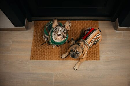 two french bulldog dogs waiting by the door for a walk, top view Stock Photo