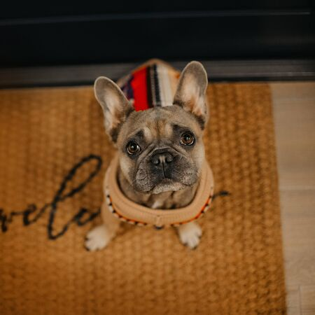 french bulldog dog in a sweter waiting by the door for a walk, top view