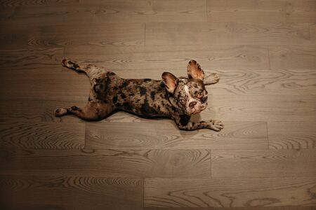 funny french bulldog dog lying on the floor indoors, top view Stock Photo