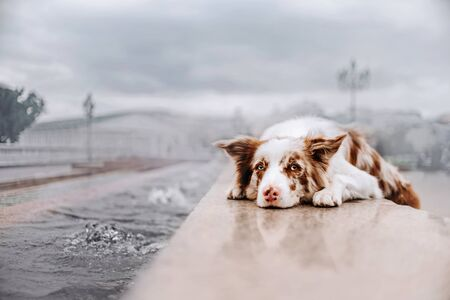 border collie dog lying down outdoors by the city canal