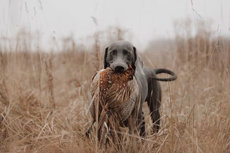 hunting dog carries pheasant game in mouth