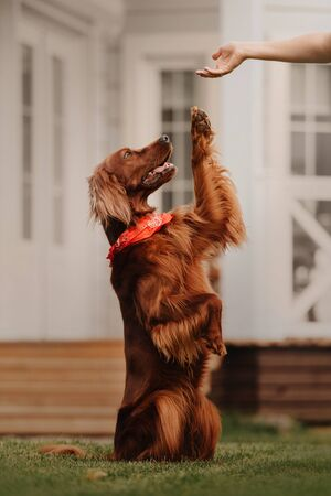 irish setter dog gives paw outdoors in summer Stock Photo