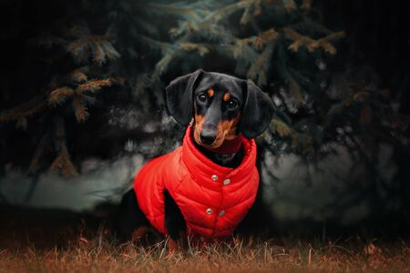 dachshund dog in a red jacket sitting outdoors in autumn