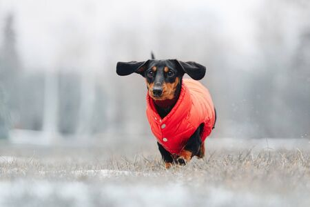 funny dachshund dog running outdoors in a red jacket Stock Photo