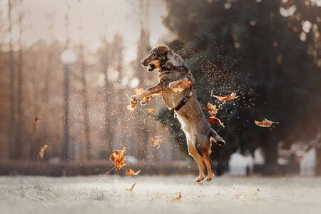 happy mixed breed dog jumping up with fallen autumn leaves