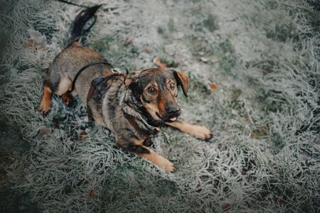 mixed breed dog lying down on frosty grass, top view 版權商用圖片