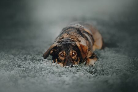 mixed breed dog lying down outdoors on frosty grass 版權商用圖片