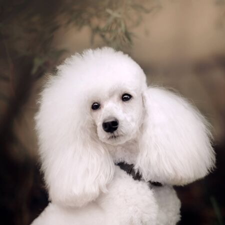 beautiful white groomed poodle dog portrait outdoors