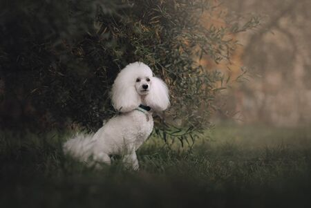 white poodle dog sitting outdoors in summer