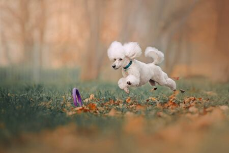 happy white poodle jumping after a toy outdoors Foto de archivo