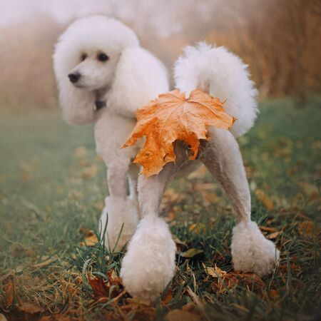 funny white poodle dog with fallen leaf on butt, rear view