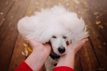 funny white poodle dog portrait outdoors in autumn