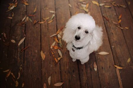 white poodle dog portrait in autumn, top view