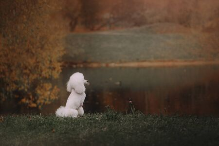white poodle dog sitting outdoors by the pond, rear view 版權商用圖片