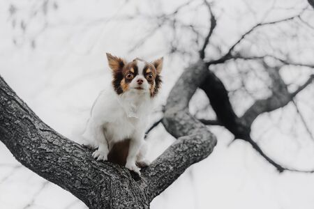 small chihuahua dog posing on a tree outdoors