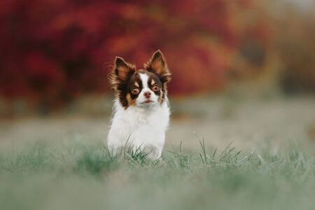 tricolor chihuahua dog standing outdoors in autumn