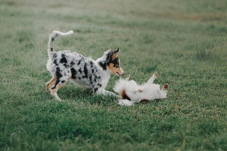 border collie puppy playing with a chihuahua dog on grass 版權商用圖片