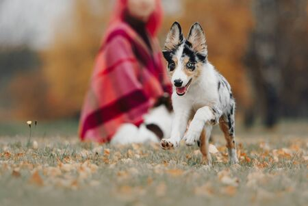 happy small border collie puppy running outdoors