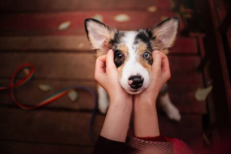 adorable border collie puppy with different eyes