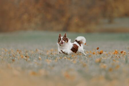 happy tricolor chihuahua dog running outdoors in autumn