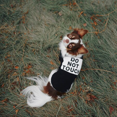 chihuahua dog posing outdoors in a funny jacket