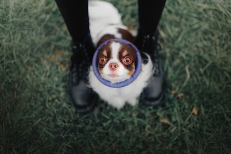 funny chihuahua dog with a round toy on the head, top view