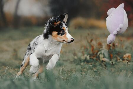 cute border collie puppy playing with a toy outdoors