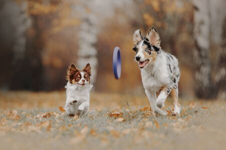 border collie puppy and chihuahua dog playing together outdoors
