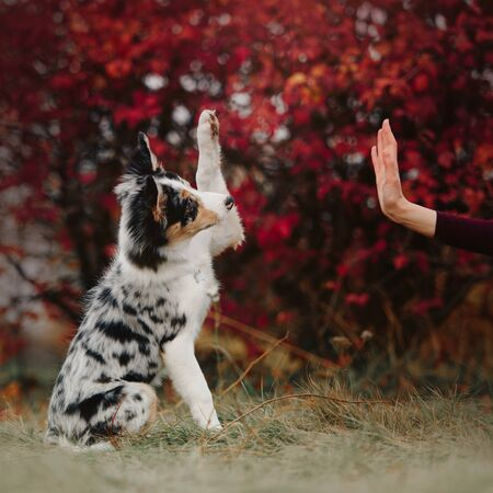 happy border collie puppy gives paw to owner outdoors