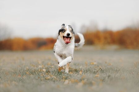 happy border collie puppy running outdoors