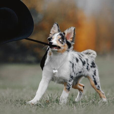 border collie puppy playing with a black hat outdoors 版權商用圖片