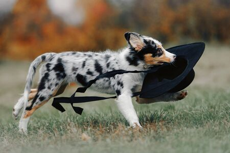 funny border collie puppy running outdoors with a hat in mouth