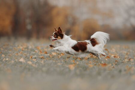 happy chihuahua dog running outdoors in autumn