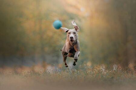 happy weimaraner dog running after a ball outdoors 版權商用圖片