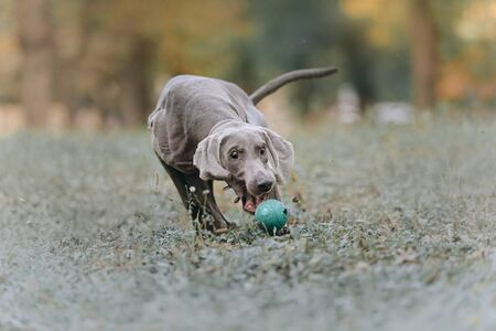 funny weimaraner dog catches a toy ball outdoors 版權商用圖片