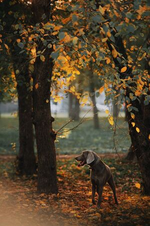 weimaraner dog posing in the park in autumn